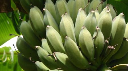ladyfinger-bananas-growing-at-permadynamics-450x250