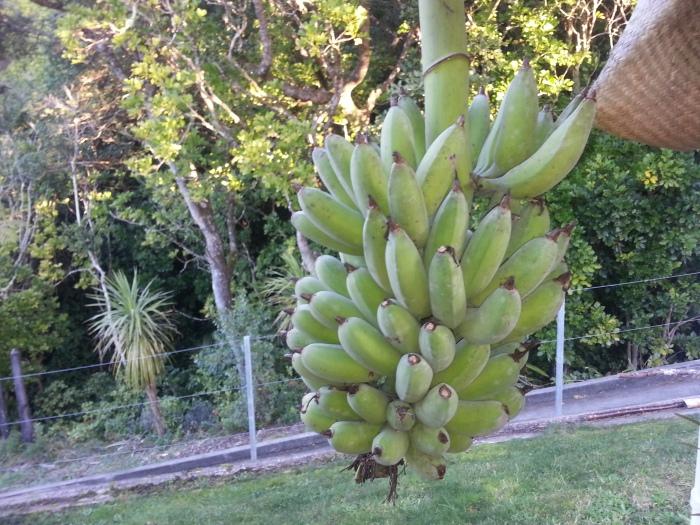 Bananas at home